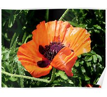 Pretty Poppy... ©  Poster