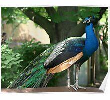 a cocky peacock Poster
