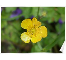 Macro Buttercup Poster