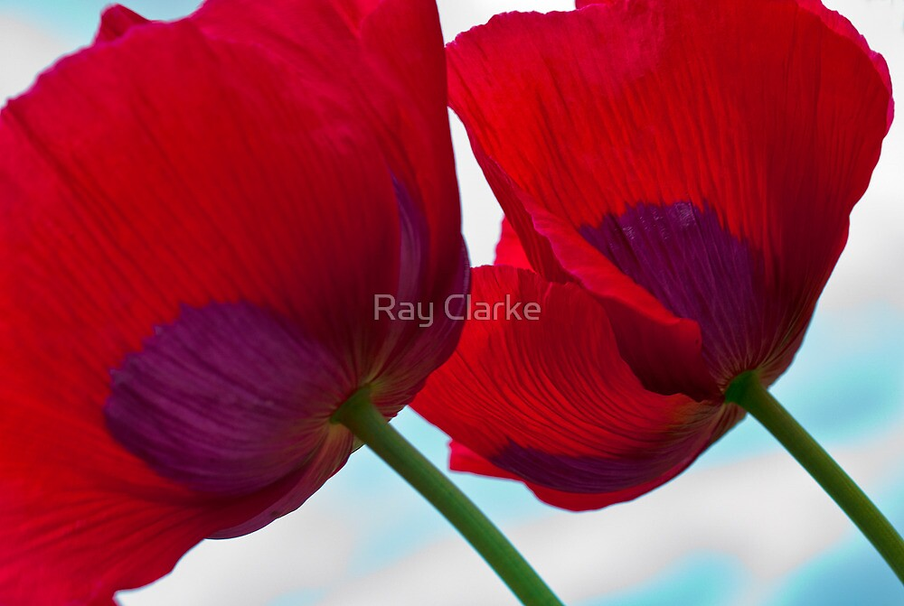 Big Red Poppies by Ray Clarke