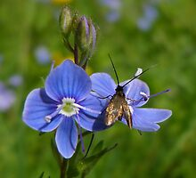 speedwell and fly by christinecliff
