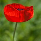 Common poppy by ImageItFoto