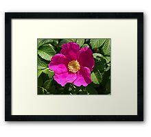 Beach Rose - Rosa Rugosa Framed Print