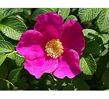 Beach Rose - Rosa Rugosa Photographic Print