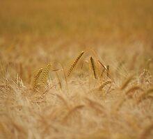 Barley Field by Nicholas Jermy