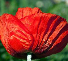 Poppy blossom by ImageItFoto
