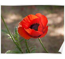 Bright red poppy Poster