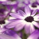 Purple senetti flowers by Matthew Folley