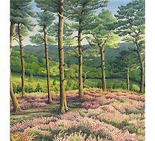 Evening Sun, Surrey Hills Pine Trees Photographic Print