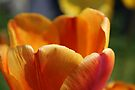 orange tulip petals by millymuso