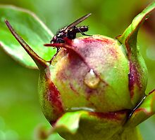 Fly On a Peony Bulb by Laurast