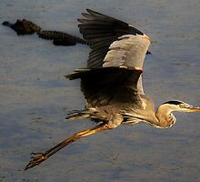 Great Blue Heron flying over a Alligator by Paulette1021