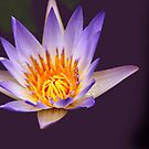 heart of a lotus by lensbaby