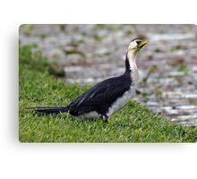 Little Pied Cormorant (Phalacrocorax melanoleucos) Canvas Print