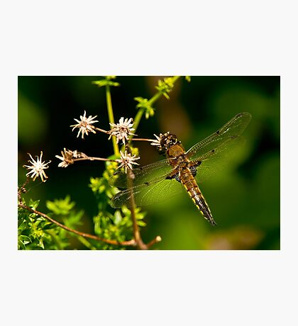 Four Spotted Skimmer Dragonfly Photographic Print