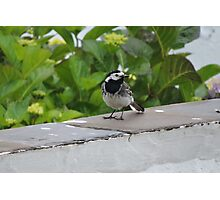 British Wagtail Photographic Print