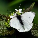 Cabbage White Butterfly by Nancy Barrett