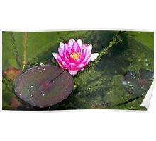 Water Lily © Poster