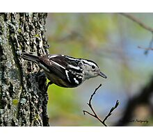 Black-and-white Warbler Photographic Print