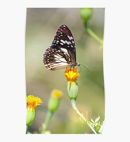 Golden Touch - butterfly feeding. Poster