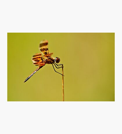 Halloween Pennant Dragonfly Photographic Print