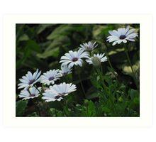 """Purple and White Daisy-like Flowers"" Art Print"