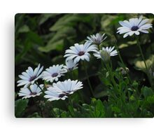 """Purple and White Daisy-like Flowers"" Canvas Print"