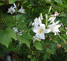 Madonna Lilies Sharing the Ground in our Garden, with Grape Vines by Dennis Melling