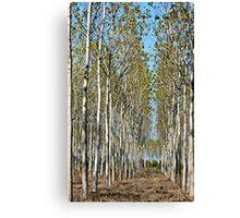 Tree Farm-Tuscany Canvas Print