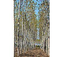 Tree Farm-Tuscany Photographic Print