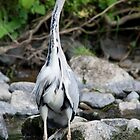 Heron fishing for fishies by Michael Neal
