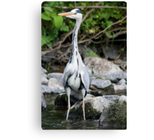 Heron fishing for fishies Canvas Print