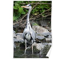 Heron fishing for fishies Poster
