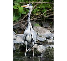 Heron fishing for fishies Photographic Print