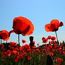 Poppies from France by Hans Kool