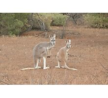 Red Kangaroos Photographic Print
