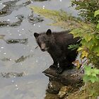 Grizzly Bear Cub, Great Bear Rainforest by SusanAdey