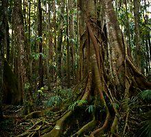Strangler Fig, Mount Tamborine QLD. by lu138