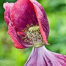 Poppy windblown  by DIANE  FIFIELD