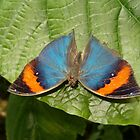 Indian Dead Leaf Butterfly in Garden by Paula Betz