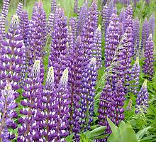 Lovely Lupines by Tracy Faught