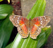 Brown and Orange Butterfly by Paula Betz