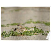 Snowy Plover Chick with Mom, As Is Poster