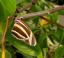 Pretty Little Unknown Butterfly by Paula Betz