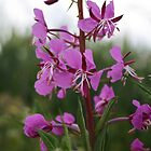 Fireweed by artsandherbs
