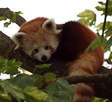 Red Panda by Magic-Moments