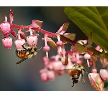 Twin Bumble Bees at Work Photographic Print