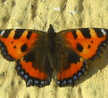 Small Tortoiseshell  by ©The Creative  Minds