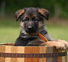 German Shepherd Puppy in Planter by Sandy Keeton