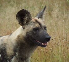 African Wild Dog by Mark Lindsay